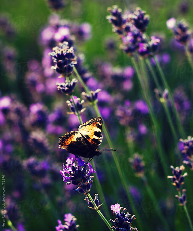 A Tortoiseshell butterfly on English Lavender by Helen Rushbrook for Stocksy United