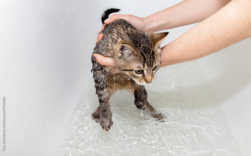 Bathing a kitty in the bathroom by Yury Goryanoy for Stocksy United