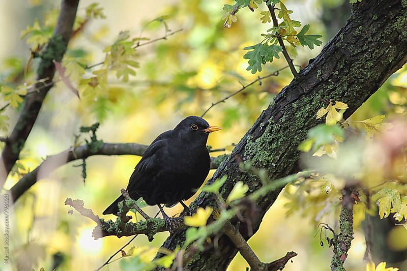 Male blackbird in a hawthorn tree in autumn by Marcel for Stocksy United