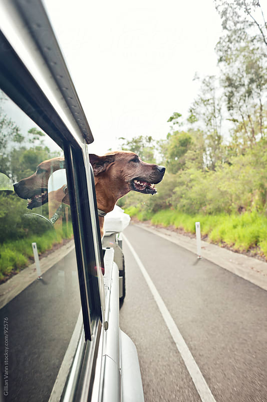 happy dog in back of car by Gillian Vann for Stocksy United