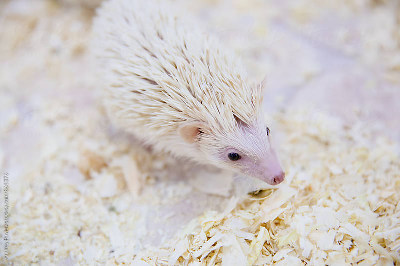 Little white hedgehog in sawdust by Andrey Pavlov for Stocksy United