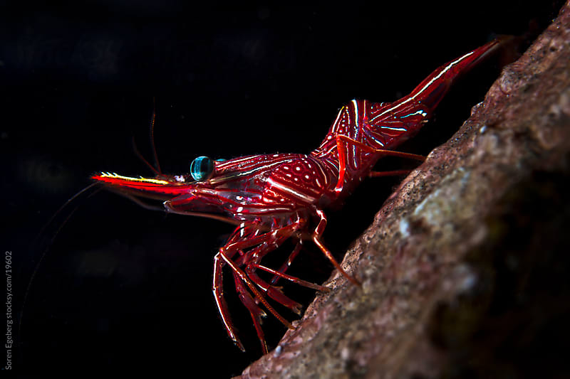 Closeup of red Camel Shrimp underwater on the coral reef in Thailand by Soren Egeberg for Stocksy United