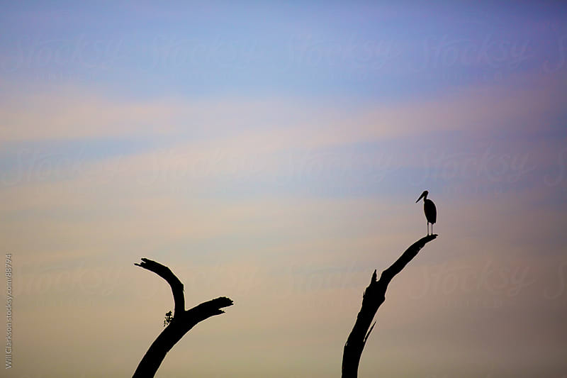 A stork sits on a dead tree at sunrise by Will Clarkson for Stocksy United