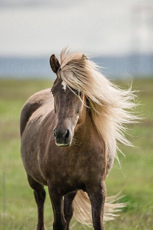 islandic horse by Andreas Gradin for Stocksy United