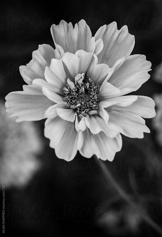 Anemone in monochrome by alan shapiro for Stocksy United