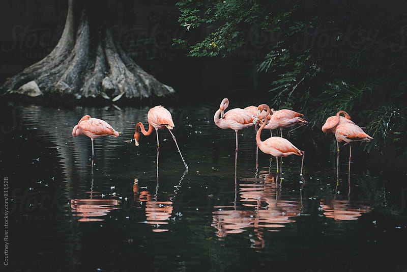 flamingo flock by Courtney Rust for Stocksy United