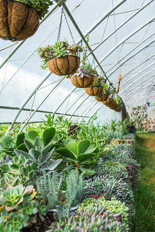 A large succulent collection in greenhouse by Maa Hoo for Stocksy United
