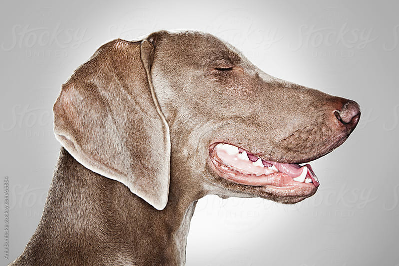 A portrait of a Weimaraner dog by Ania Boniecka for Stocksy United