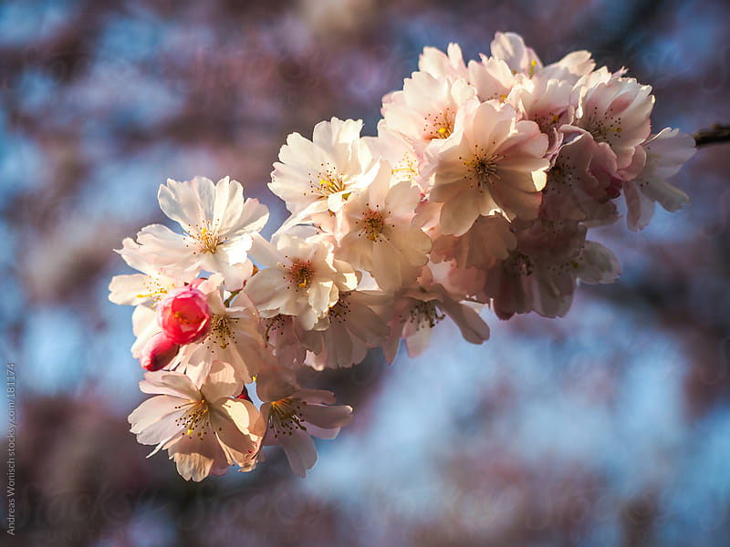 Cherry Blossom Macro by Andreas Wonisch for Stocksy United