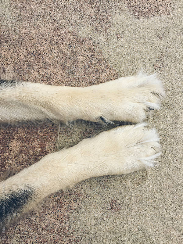 Dog's front paws on beach by Paul Edmondson for Stocksy United