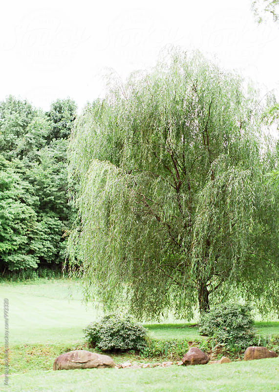 Willow tree in a meadow by Marta Locklear for Stocksy United