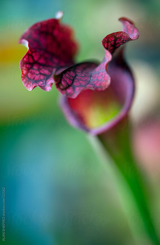 pitcher plant by ALAN SHAPIRO for Stocksy United