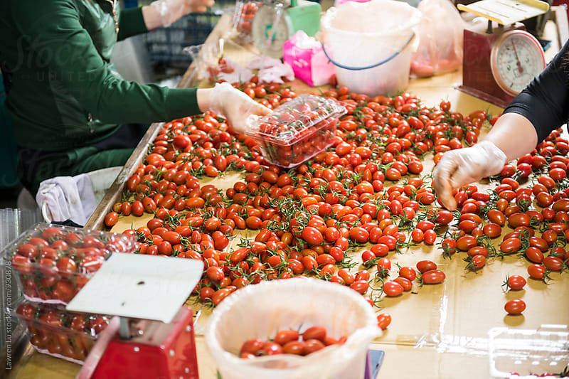 Workers picking tomato and packing in plastic container by Lawren Lu for Stocksy United