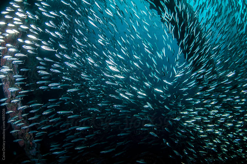 Anchovies swimming around man made structures underwater by Caine Delacy for Stocksy United