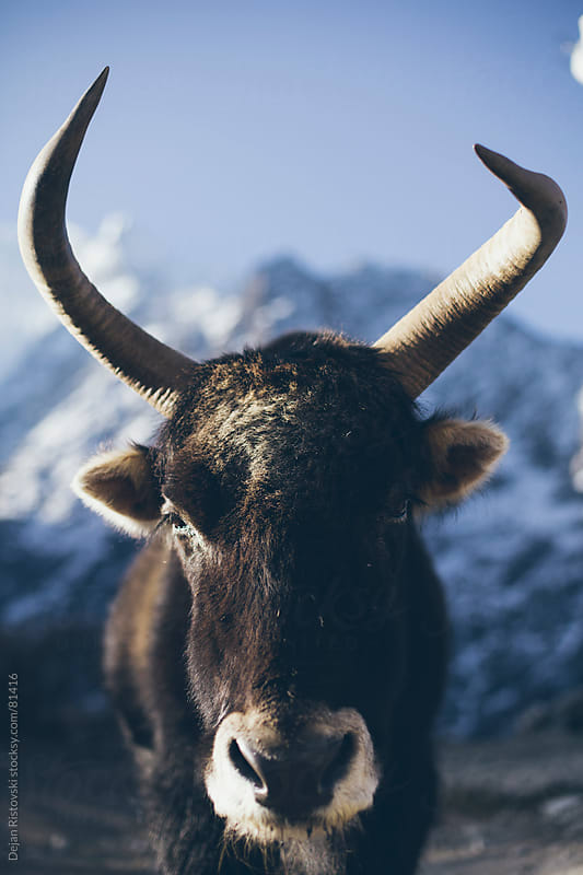 Portrait of a Yak animal by Dejan Ristovski for Stocksy United