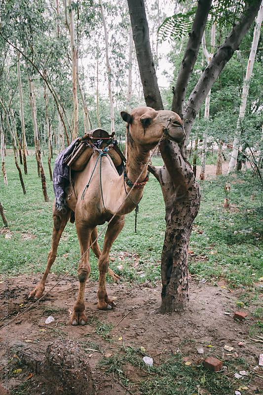 Camel tied to a tree in India by Alejandro Moreno de Carlos for Stocksy United