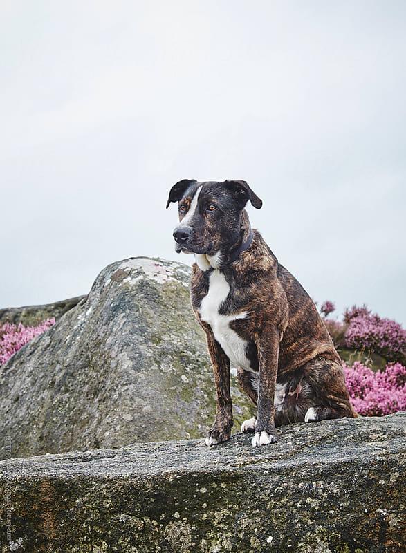 Boxador (Labrador Boxer cross) sat on gritstone. Derbyshire, UK. by Liam Grant for Stocksy United