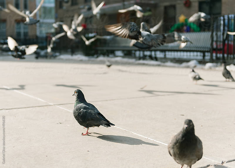 Pigeons on New York street, USA by Gabriel Diaz for Stocksy United