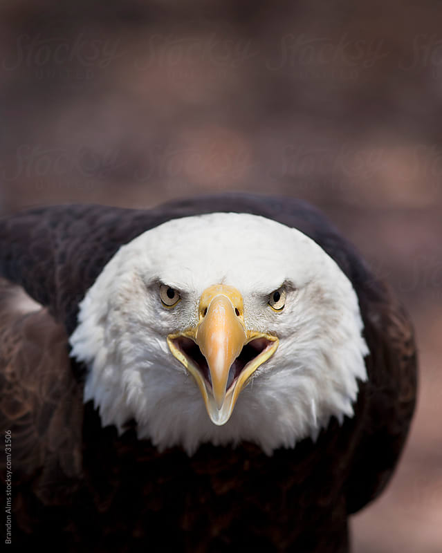 Bald Eagle Calling by Brandon Alms for Stocksy United