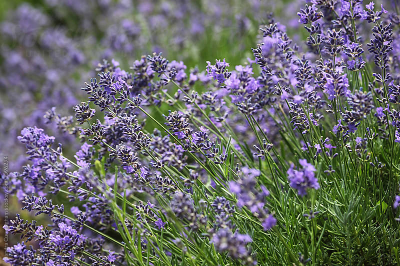 Close up of scented lavender flowers by Sandra Cunningham for Stocksy United