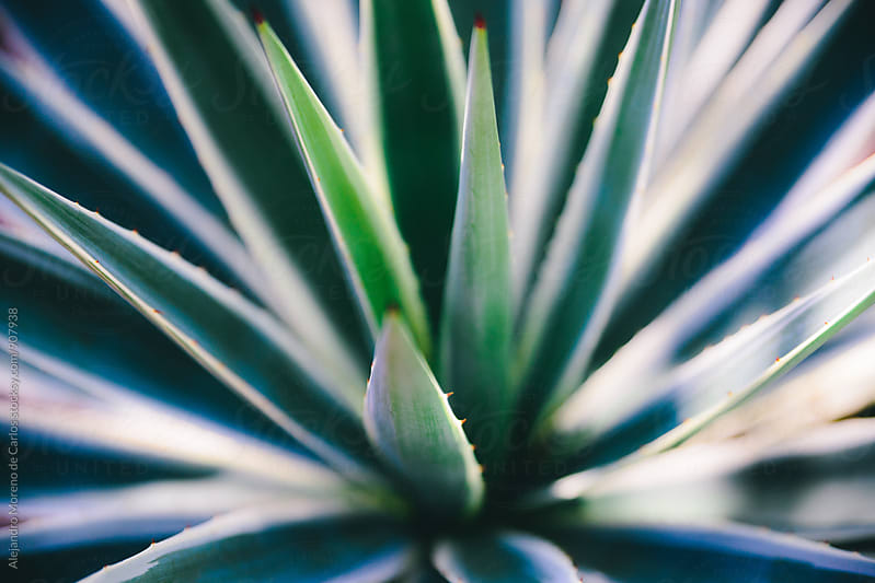 Agave plant close-up by Alejandro Moreno de Carlos for Stocksy United