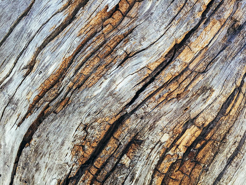 Close up of bark from fire damaged and dead old growth pine tree by Paul Edmondson for Stocksy United
