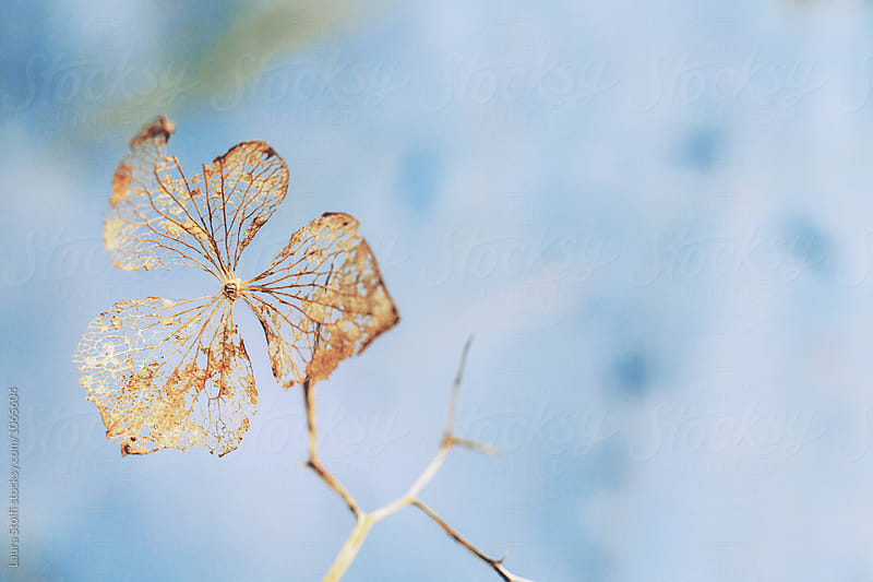 Golden dried hydrangea flower on blue background