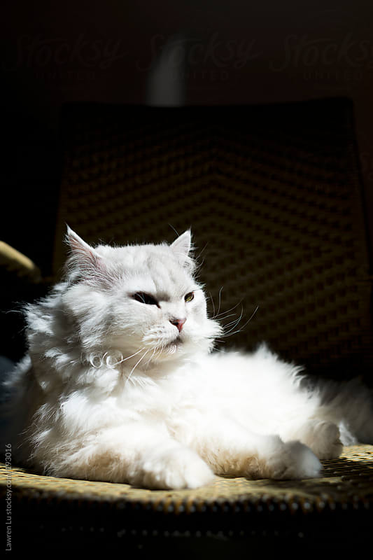 White Persian cat sitting on a chair by Lawren Lu for Stocksy United