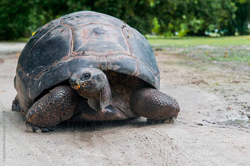 Giant Tortoise in Seychelles by Caine Delacy for Stocksy United