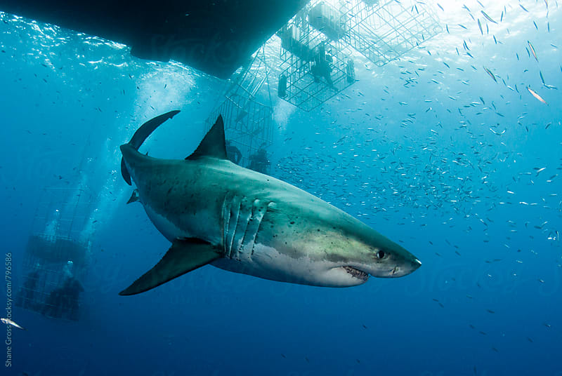 Great White Shark Swimming Among Cages by Shane Gross for Stocksy United