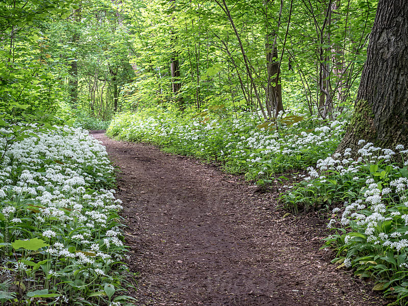 Wild Garlic blooming in German Forest in Spring by Andreas Wonisch for Stocksy United