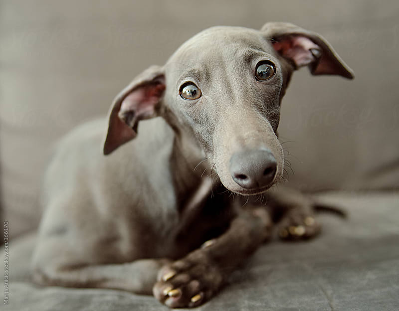Grey dog on grey sofa,italian greyhound by Marija Anicic for Stocksy United