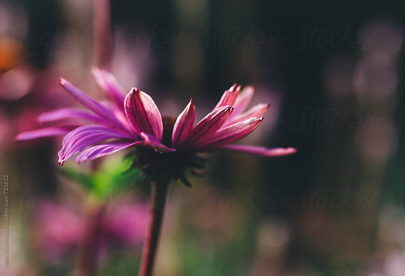 Echinacea flower by Helen Rushbrook for Stocksy United