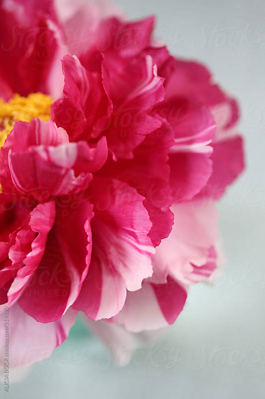 A Spring Peony In Bloom by ALICIA BOCK for Stocksy United