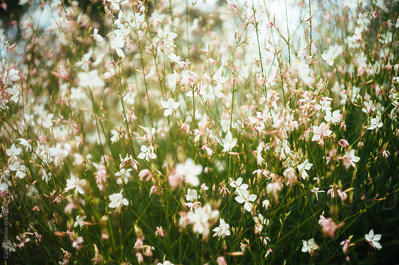 White and Pink Gaura Flowers by Caitlin Strom for Stocksy United