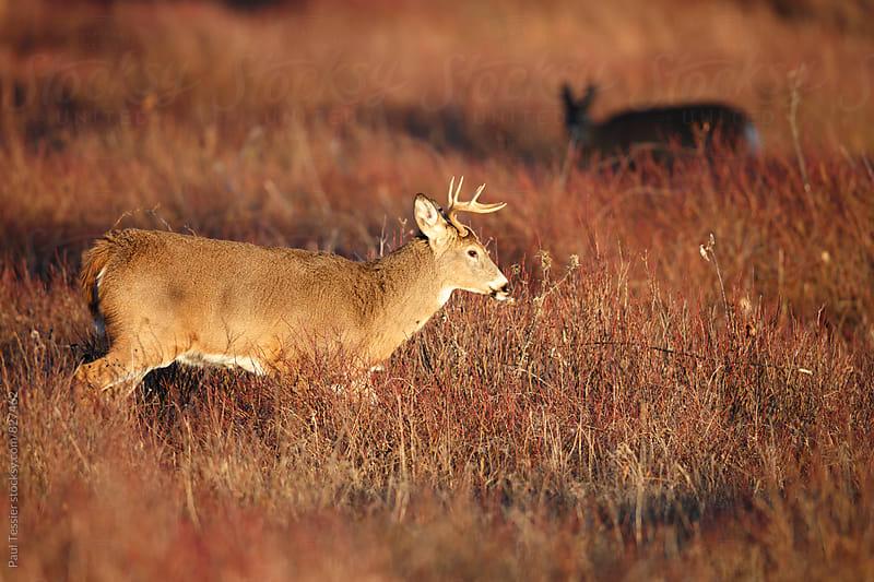 White-tailed Deer by Paul Tessier for Stocksy United