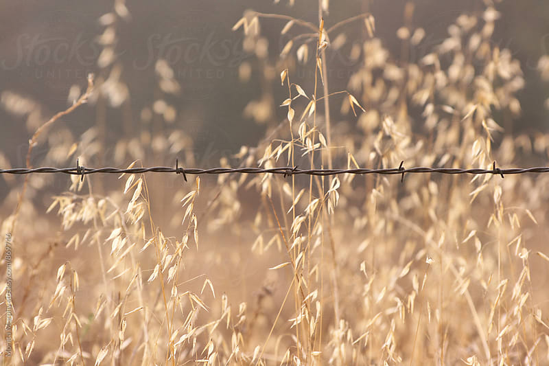 Barbed wire against field of wheat grasses by Monica Murphy for Stocksy United