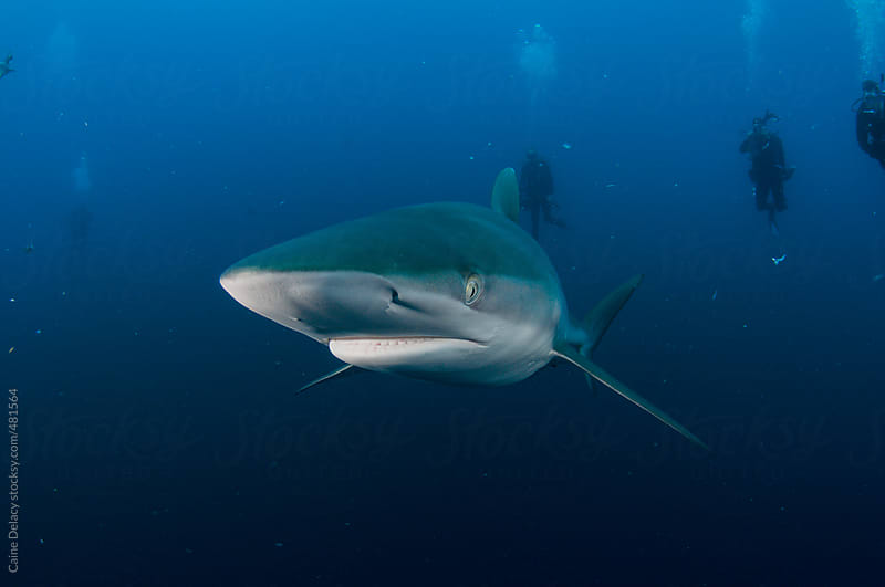 Silky Shark swimming with deep blue ocean background by Caine Delacy for Stocksy United