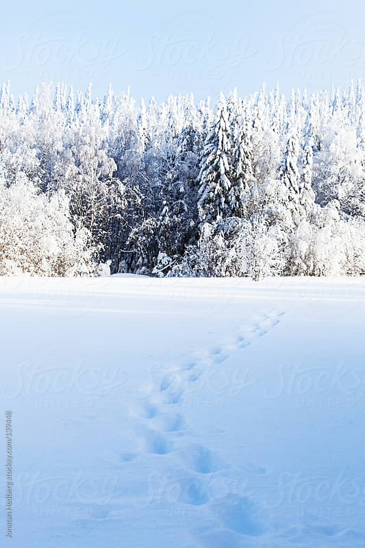 Snowshoe tracks leading towards snow covered trees by Jonatan Hedberg for Stocksy United