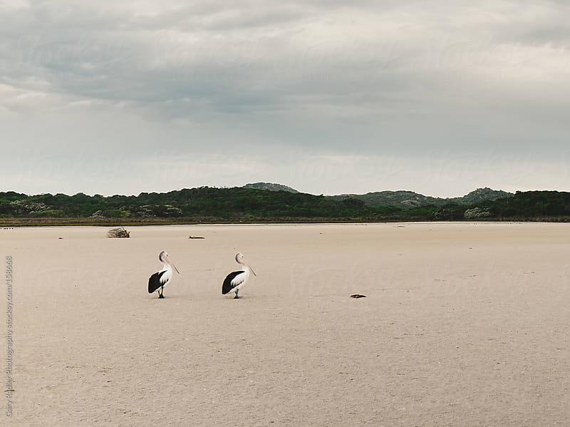 Pelican Pair on a Sand Flat at Low Tide by Gary Radler Photography for Stocksy United
