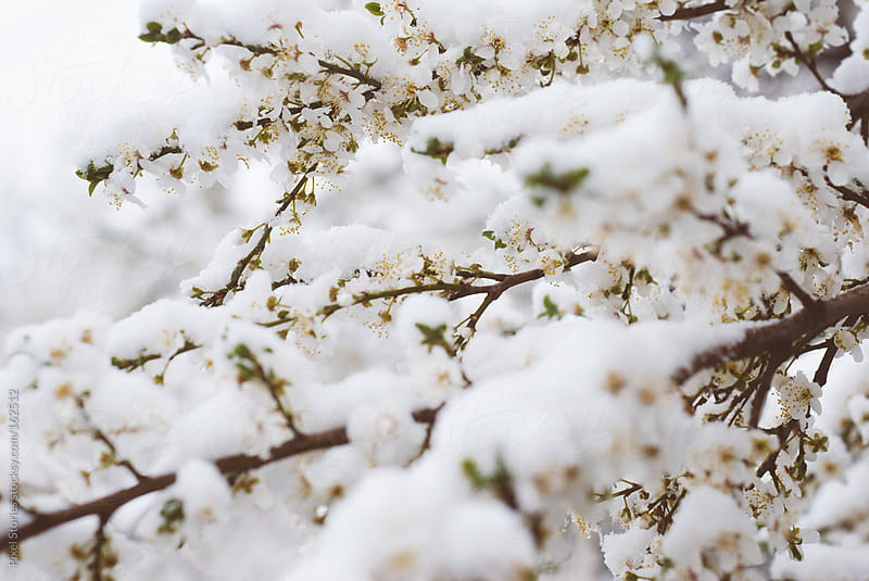 Snow-covered Spring tree by Pixel Stories for Stocksy United
