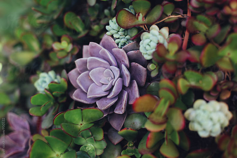 Purple and green succulent garden by paff for Stocksy United