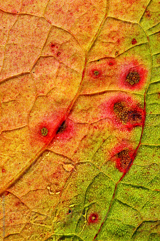 deteriorating autumn leaf macro by Marcel for Stocksy United