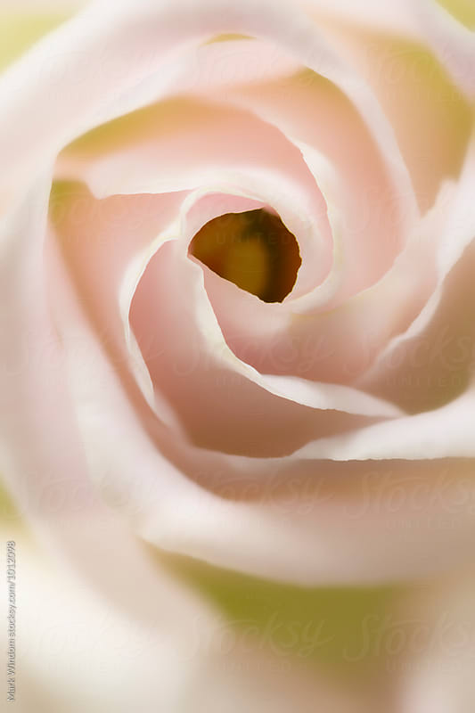 Lisianthus flower, closeup by Mark Windom for Stocksy United
