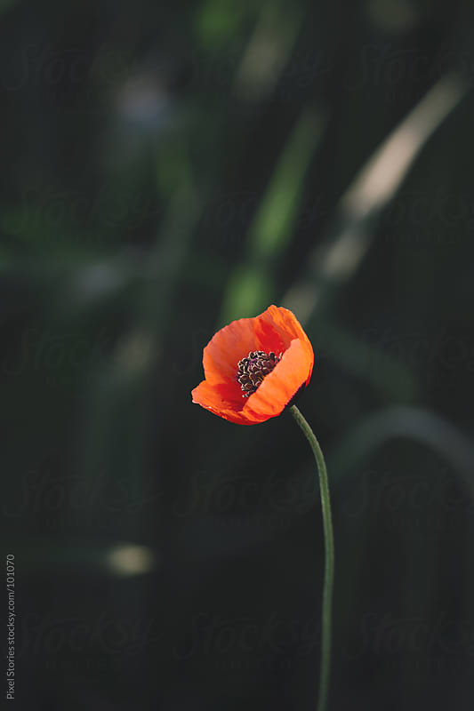 Poppy flower by Pixel Stories for Stocksy United
