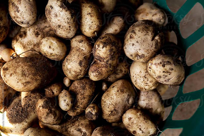 Kennebec potatoes in a basket by J Danielle Wehunt for Stocksy United
