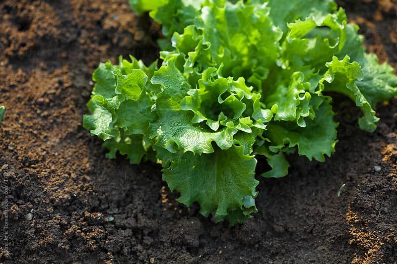 Lettuce by Jelena Jojic Tomic for Stocksy United