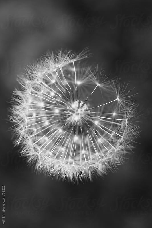 Closeup Image Of Dandelion In Monochrome by Kelli Seeger Kim for Stocksy United