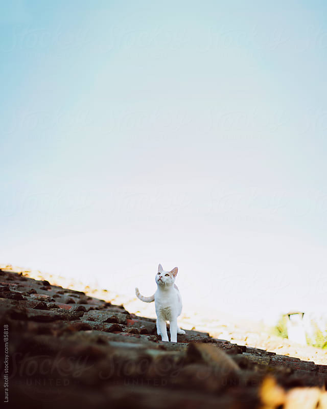 Happy-go-lucky: cat taking a walk on roof by Laura Stolfi for Stocksy United