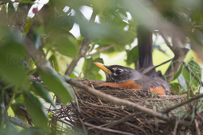 Robin sitting on her nest by David Smart for Stocksy United